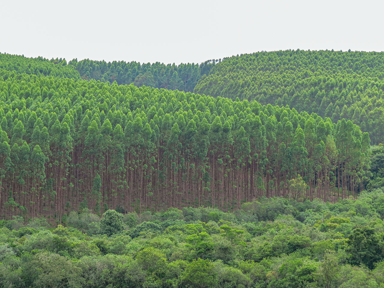 Forest plantation in Brazil