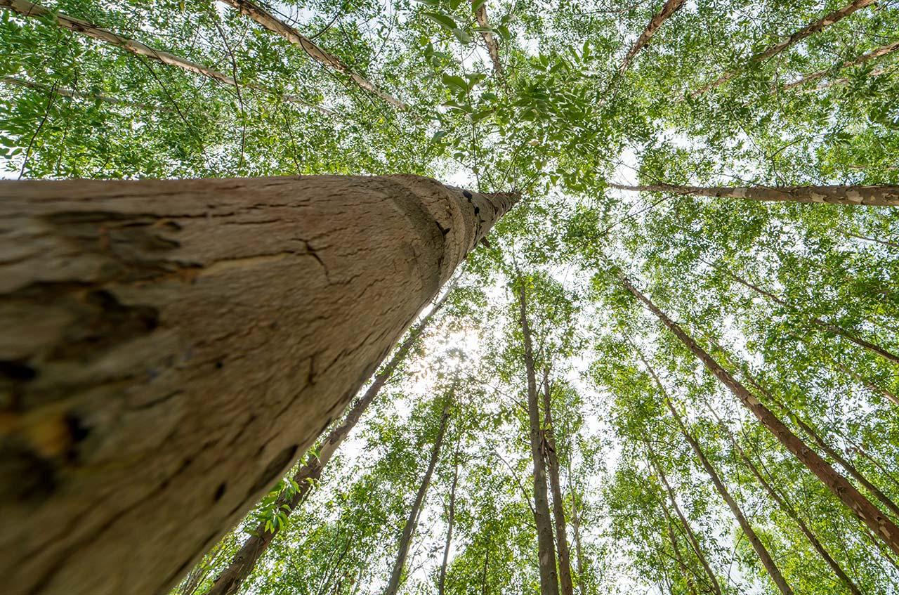 Eukalyptus – bioenergiråvaran med turbo