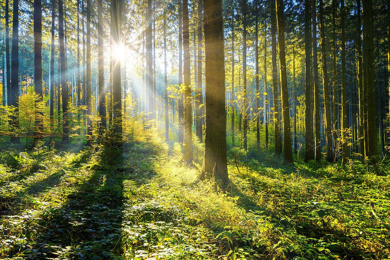 dawn forest